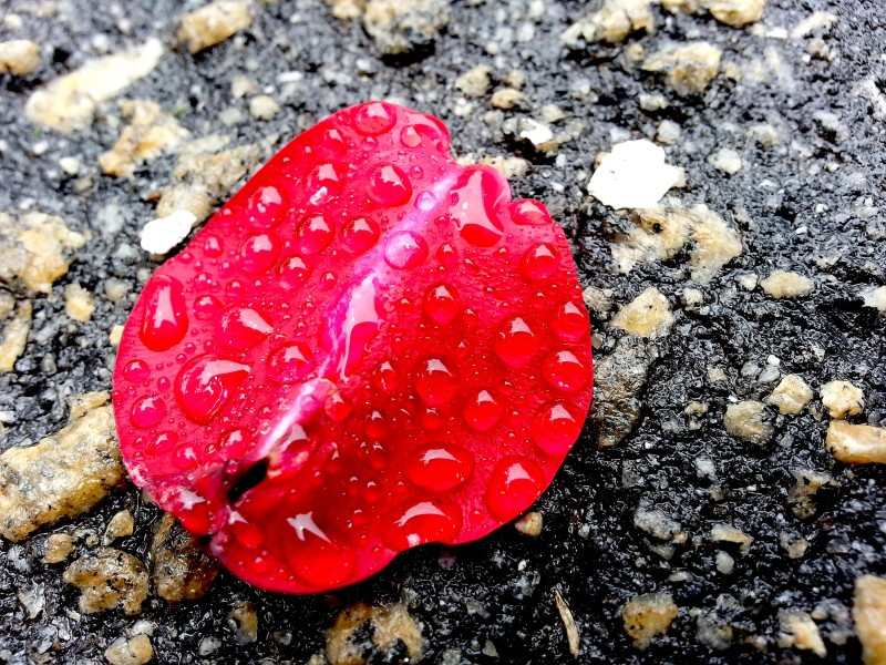 Rose petal in the rain