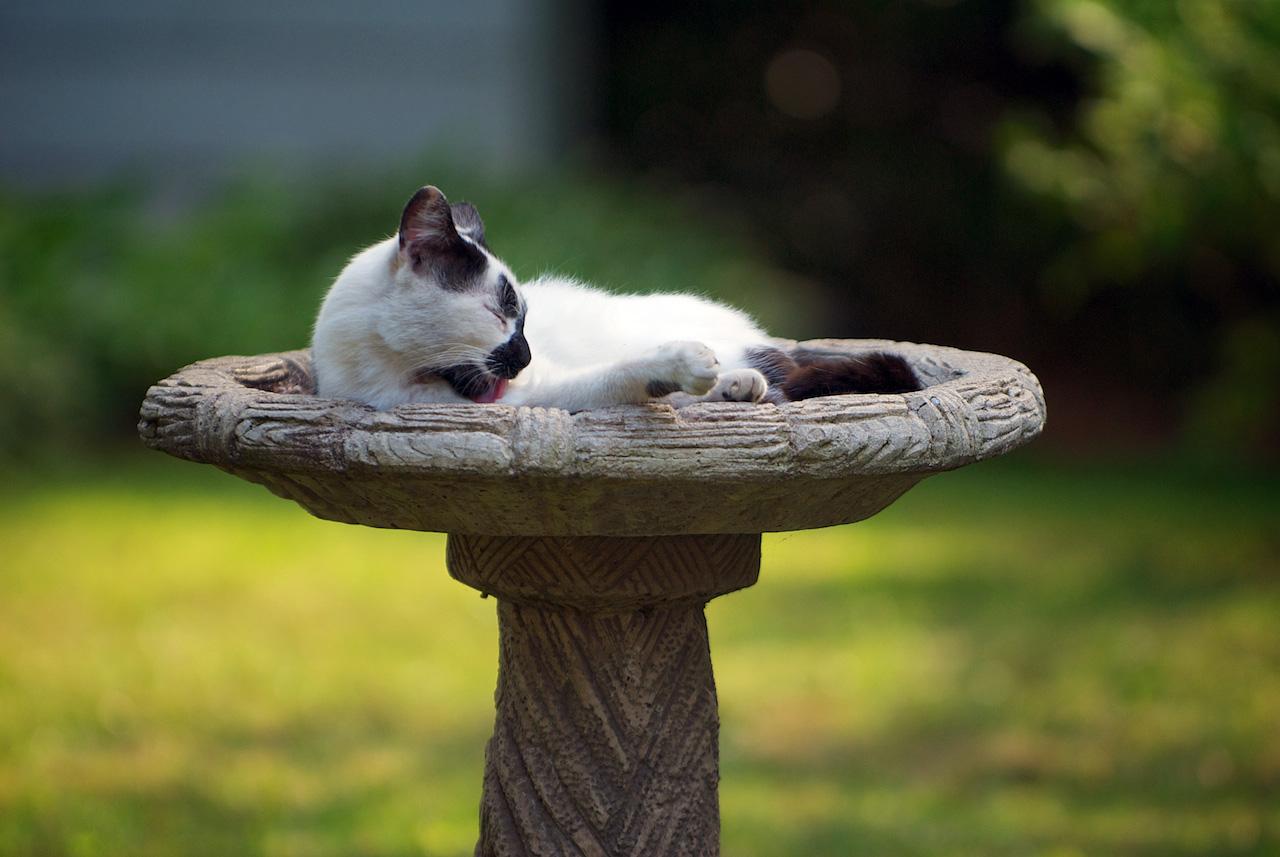 A cat bathing in the birdbath